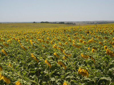 Sunflowers in the Sunflower State Copyright 2010 Neil Stahl