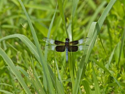 Dragonfly in Knob Noster SP, Missouri Copyright 2010 Neil Stahl