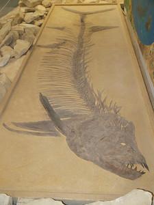 Fick Museum, Oakley Kansas Xiphactinus audax Copyright 2010 Neil Stahl