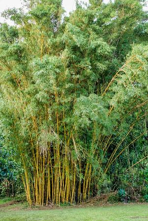 Golden Bamboo Clump