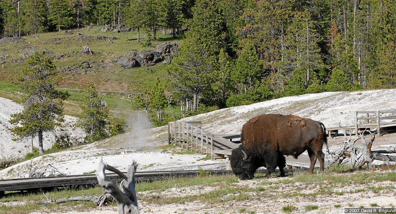 An American bison munches on the grasses surrounding the Old Faithful geyser.