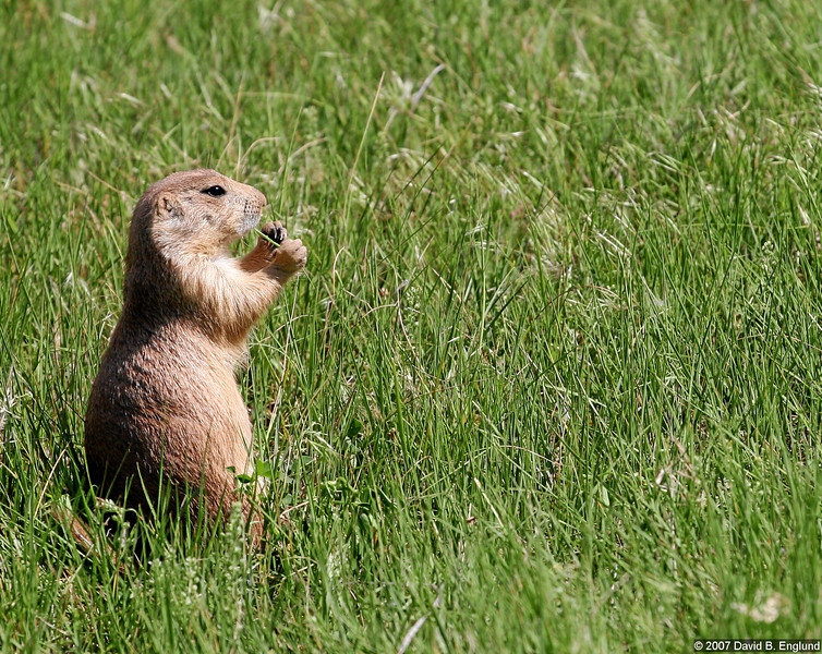 Having left Yellowstone for my return trip home to Minnesota, the next eight shots (including this one) are from a return visit to the Devils Tower National Monument in Eastern Wyoming along the way. The monument comes with it's very own prairie dog village. Here are a few images of the little critters.