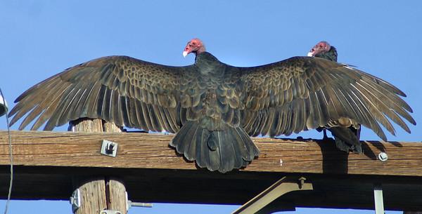 Turkey Vultures, Alpine, March 15, 2011