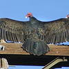 Turkey Vultures, Alpine, March 15, 2011