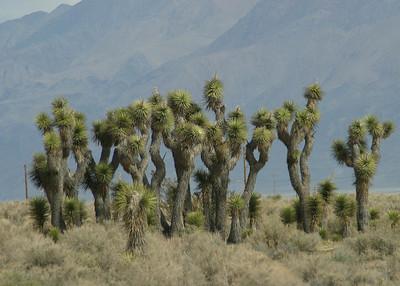 Joshua trees, California Hwy 395. March 16, 2011