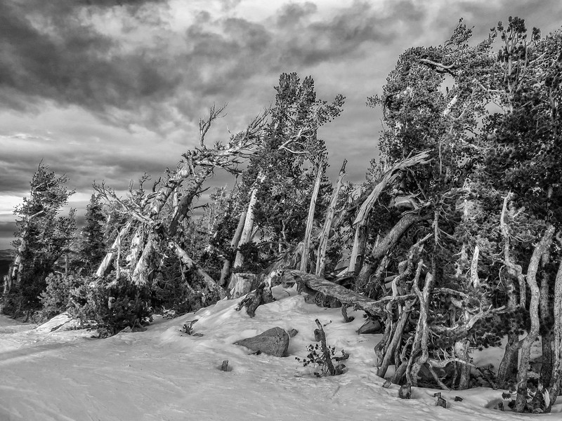 Wind swept trees at the top of Heavenly Ski Resort, Lake Tahoe, NV January 6, 2014