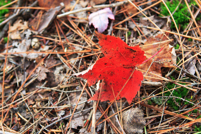 An amazing red leaf lying around
