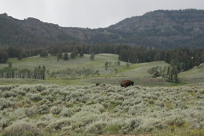 Buffalo at Lamar Valley