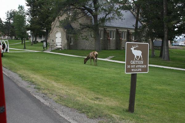 Deer at north entrance near Mammoth Hot Springs