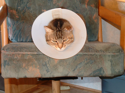 Beavis in a cone after ear surgery