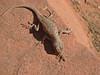 Lizard Breakfast - Zion National Park