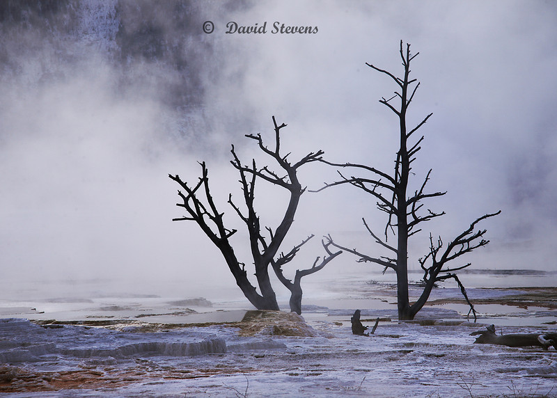 Two Trees, Hot springs Yellowstone