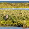 Great Blue Heron, Sunset Lake Park, Portland, TX