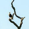 Crested Caracara, Goose Island State Park, Fulton, TX