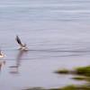 Black Skimmers, Sunset Lake Park, Portland, TX