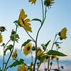 Texas Sunflowers, Rockport Beach Park, Rockport, TX