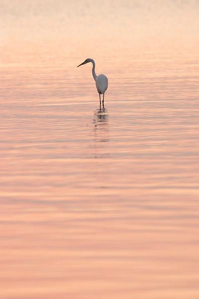 Great Egret enjoys sunrise on the bay, Rockport, TX - September 2011