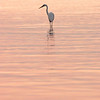 Great Egret enjoys sunrise on the bay, Rockport, TX - September 2011