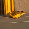 Wilson's Warbler?, Rockport, TX, September 2011