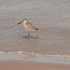 Willet, Mustang Island State Park, TX, September, 2011