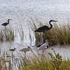 Shore birds, Rockport, TX, September 2011