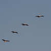 Brown pelicans in formation, Mustang Island State Park, TX, September, 2011