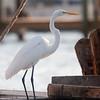 Great Egret, Rockport, TX, September 2011