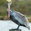 American Brown Pelican