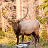 This 12-point elk gives the camera the stink-eye in Rocky Mountain National Park.