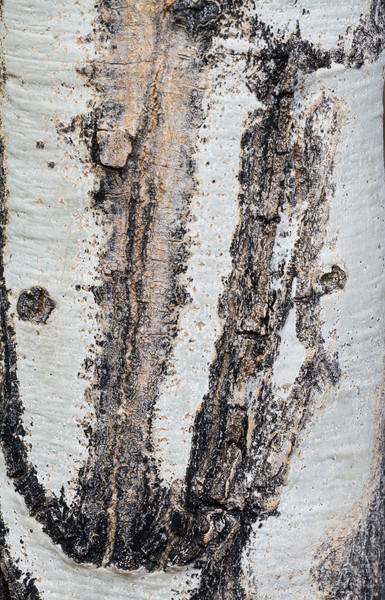 Rocky Mountain National Park...Elk enjoy the bark of Aspens...these scars represent the lower two teeth of the elk as it scraped the bark off... the lower curvature represents the gumline impression.