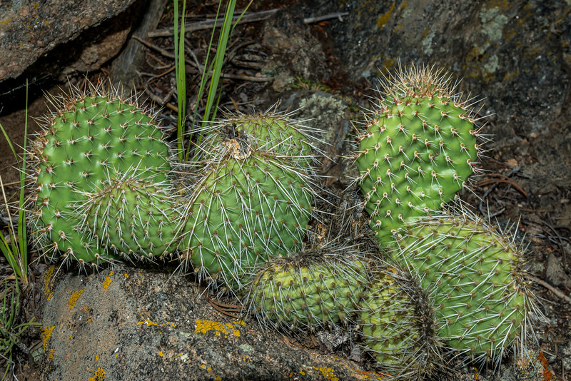 Plains prickly pear (Opuntia polyacantha), Estes Park