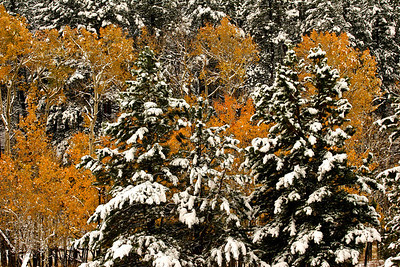Aspen Among Snow Covered Evergeerns