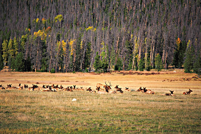 Elk harem near Kawuneeche Visitor Center