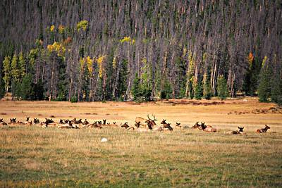Elk harem near Kawuneeche Visitor Center