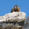 Rocky Mountain National Park<br /> Marmots...these animals usually live above the tree line. They hibernate in the winter. They are related to squirrels but larger.