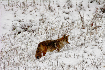 Hunting Coyote