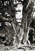 Bristlecone Pine Tree Trunks