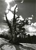 Bristlecone Pine, clouds