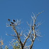 Some of the less exotic of the wildlife.  Turkey vultures.