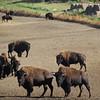 Right past a buffalo farm!!