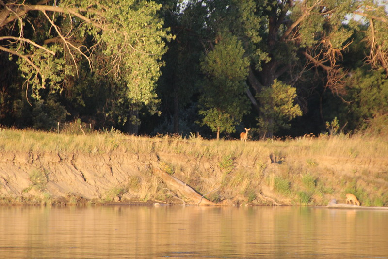 Mother and fawn drinking at the river's edge.