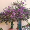 Bougainvillea flowers at the Paleokastritsa Monastery on the island of Corfu, Greece.