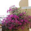 Beautiful bougainvillea by the church bells.
