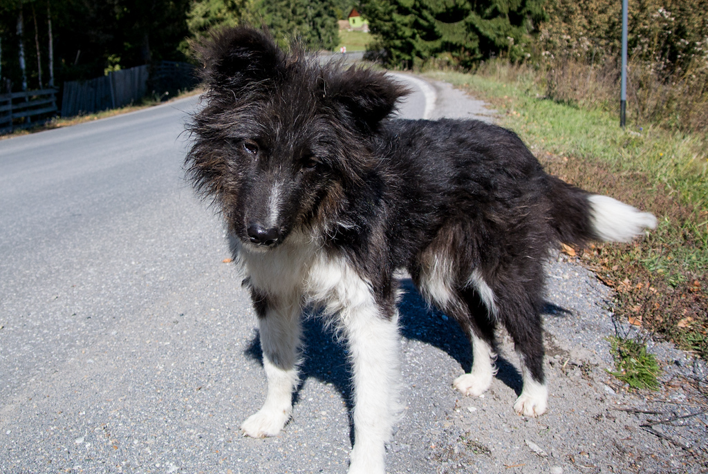 Dog in Praid Pass - on the road to Gheorgheni