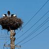 Storks, Romania