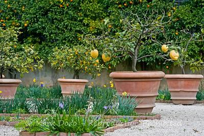 Lemon tree, Villa Borghese, Rome, Italy