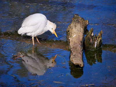 Cattle egret at BioParco