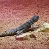 Gekko gecko