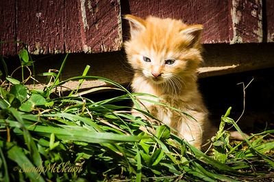 4-week old kitten pops its head out from under a barn. Ross Farm Museum, Nova Scotia.