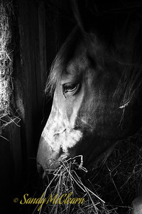 A horse munches on hay in the barn. Ross Farm Museum, Nova Scotia.